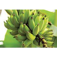 Выращивание банана
