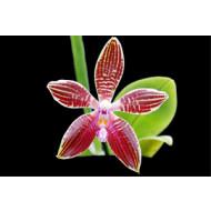 Повторное цветение фаленопсиса